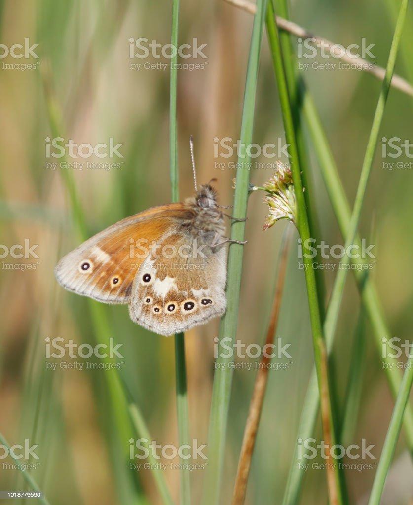 Grote heide Butterfly (Coenonympha tullia) foto