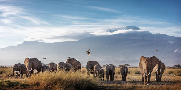 Large Herd of African Elephants in Front of Kilimanjaro stock photo