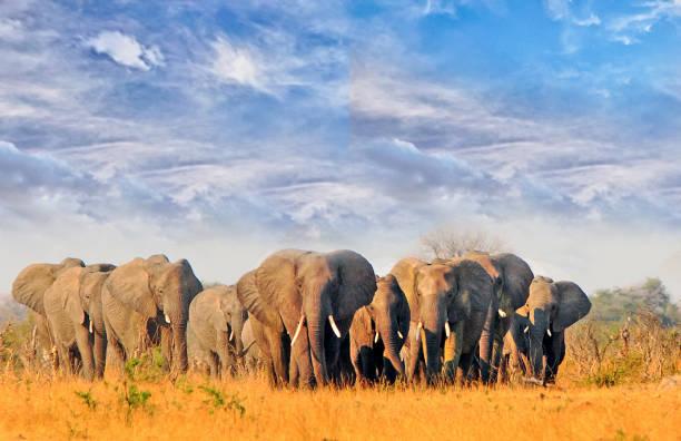 Großer Elefantenherd spaziert durch die trockene, trockene Landschaft mit einem schönen blauen Weisheitshimmel im Hwange Nationalpark – Foto