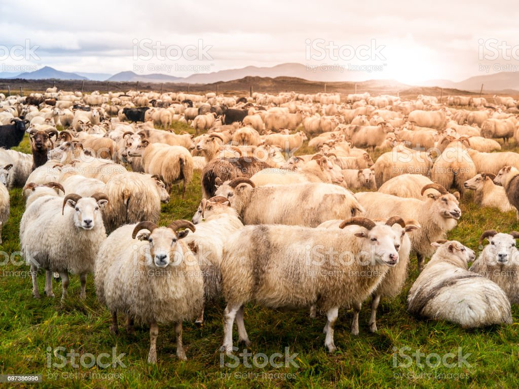 Large herd of sheeps at sunset time, Iceland stock photo