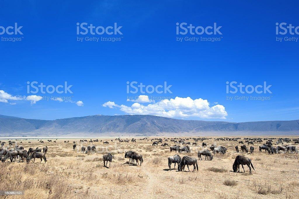 Large herd of Wildebeest in Ngorongoro Crater, Tanzania stock photo