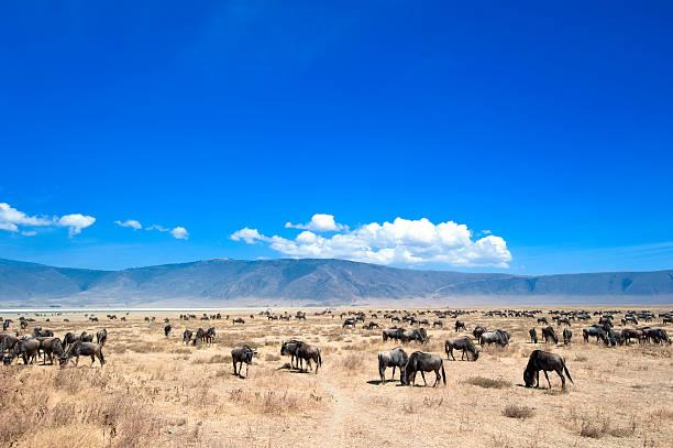 große herde von gnu in ngorongorokrater, tansania - afrikanische steppe dürre stock-fotos und bilder
