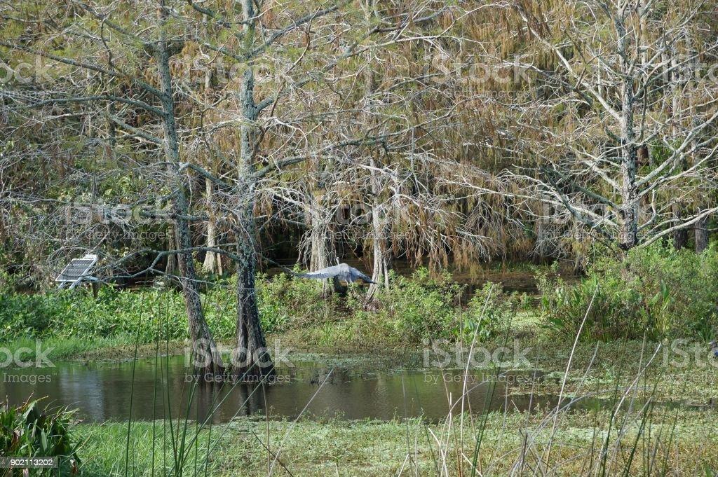 large heron flying in swamp stock photo