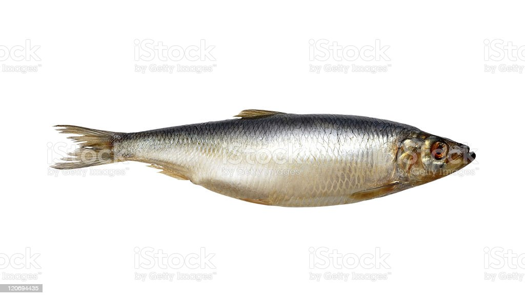 a large herring fish against a white background royalty free stock photo