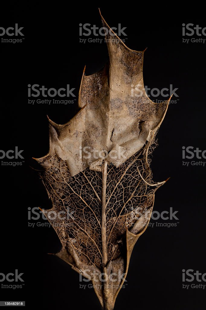Large Holly Leaf royalty-free stock photo