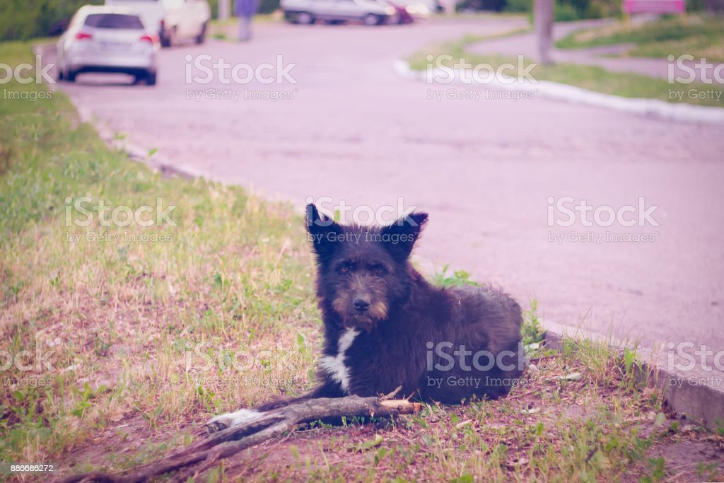 A large homeless black dog with a severed ear lies on the side of the road stock photo