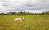 A large horned animal lies in a field and chews grass. Red cow, bull. Symbol of 2021.