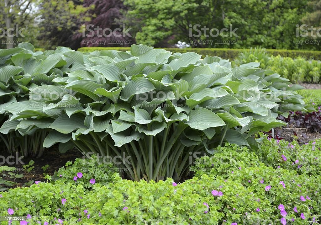 Large Hosta Stock Photo Download Image Now Istock