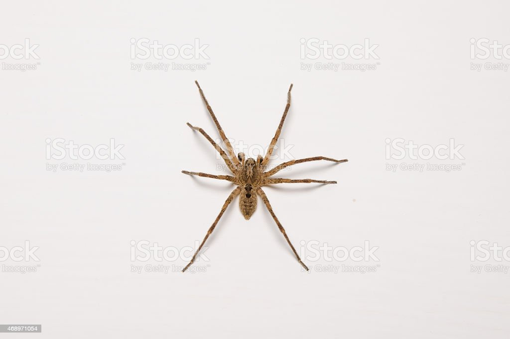 Large house spider stock photo