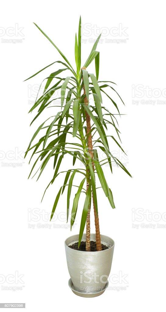 Kamerplant Hoge Pot.Grote Kamerplant Hoge Boom In Een Pot Op Wit Wordt Geisoleerd