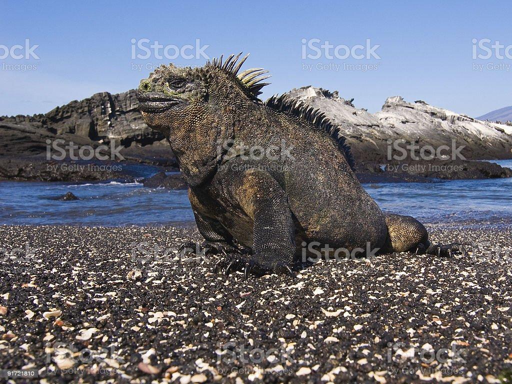 Large iguana on a volcanic beach stock photo