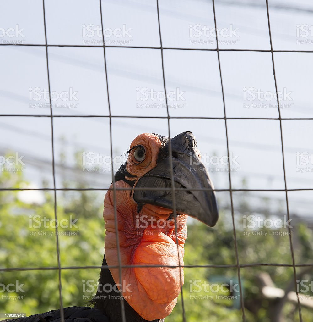 Large images of the Kafrsky horned raven. Moscow zoo, Russia stock photo