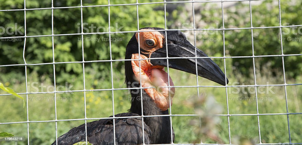 Large images of the Kafrsky horned raven. stock photo