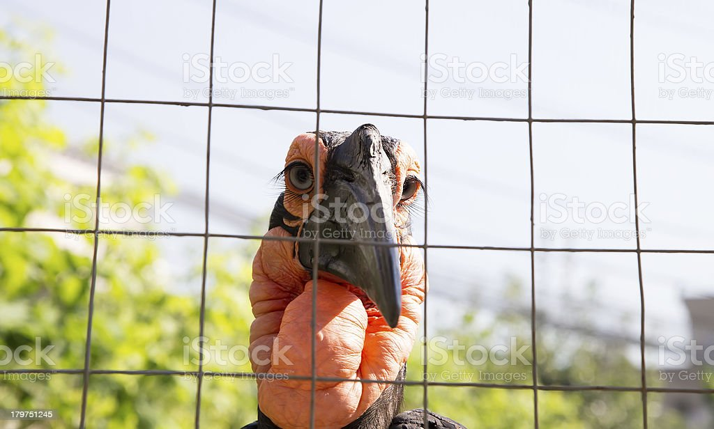 Large images of the Kafrsky horned raven stock photo