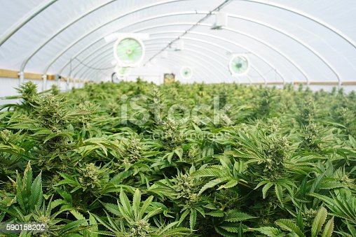 istock Large Indoor Marijuana Legal Recreational Commercial Growing Operation 590158202