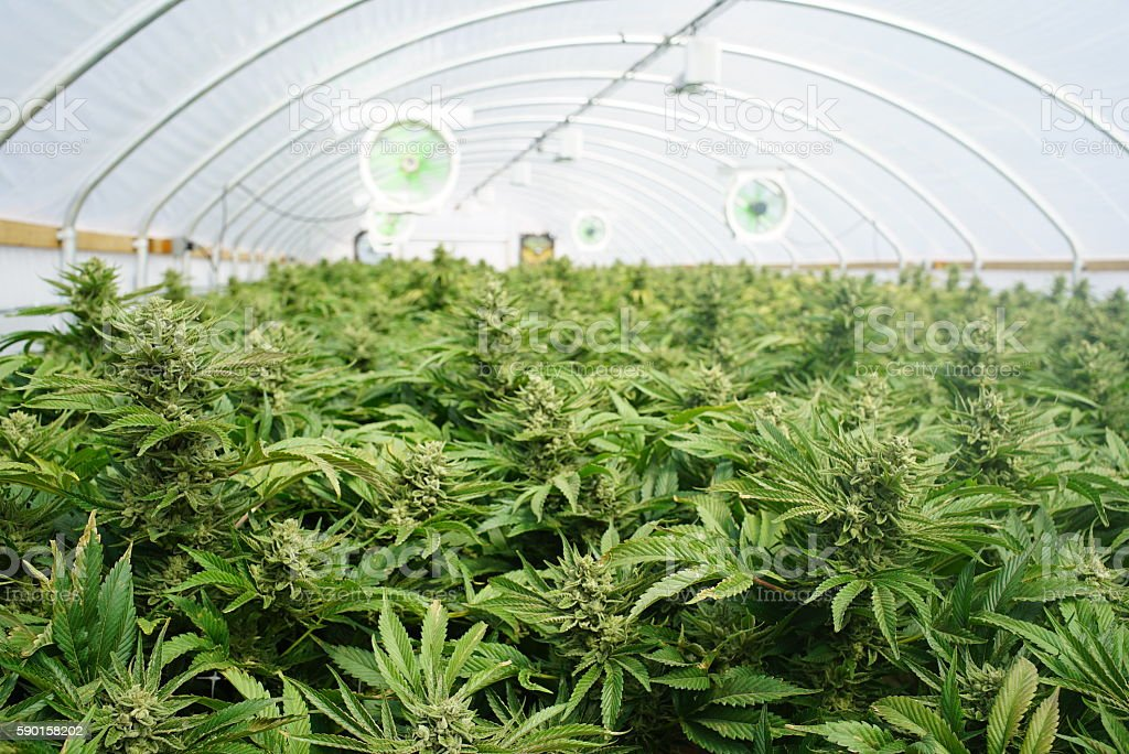 Large Indoor Marijuana Legal Recreational Commercial Growing Operation stock photo