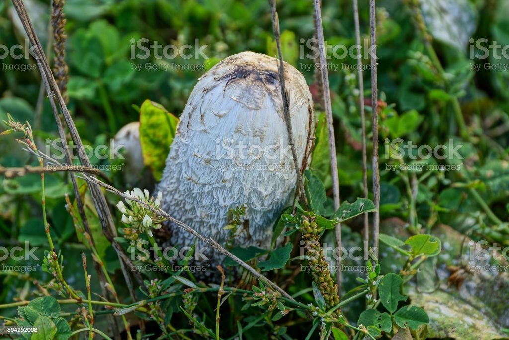 large inedible white mushroom in leaves and grass in the forest royalty-free stock photo