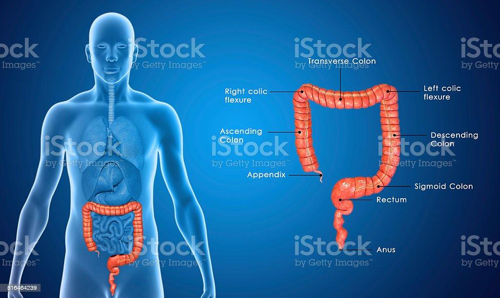 Large Intestine stock photo