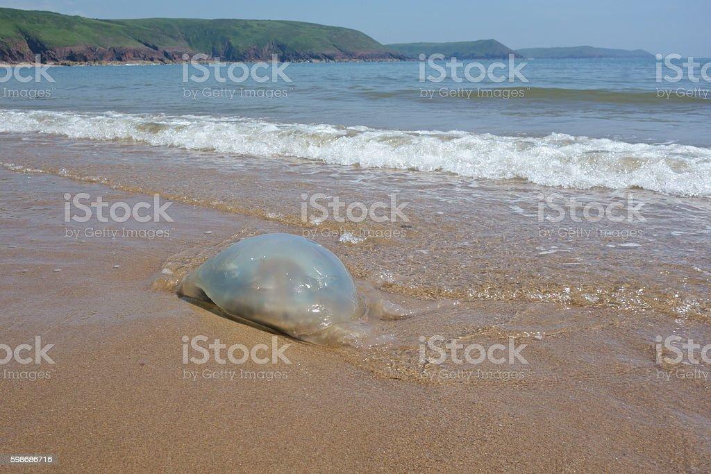 Large Jellyfish washing ashore in Wales, UK. stock photo