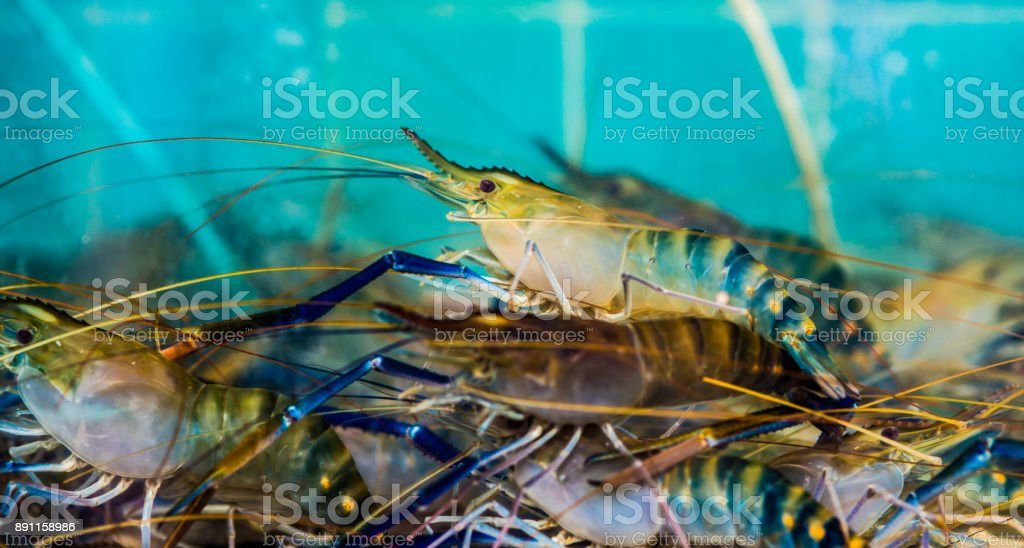 Large jumbo shrimp at a street food stand in Thailand stock photo