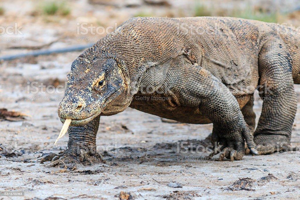 Large Komodo Dragon on Rinca island stock photo