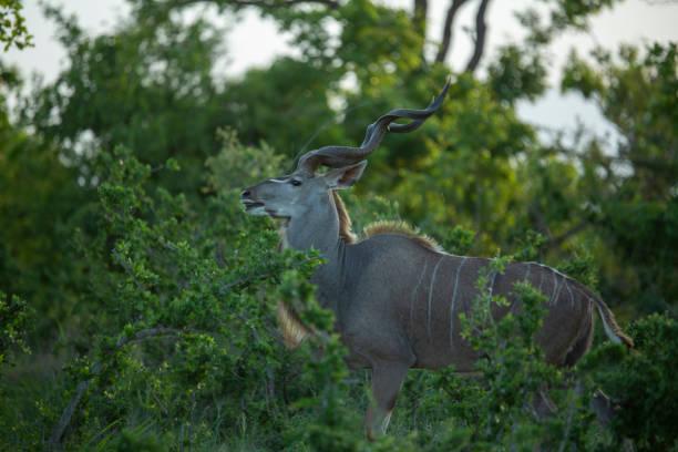 Large kudu bull – zdjęcie