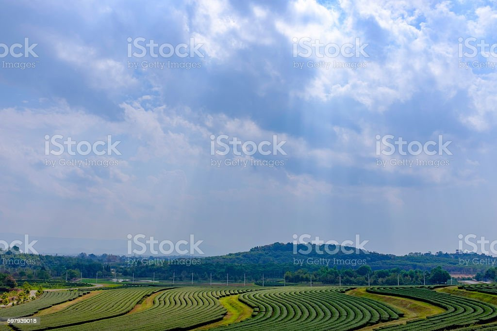 large landscape view of tea tree large field foto royalty-free