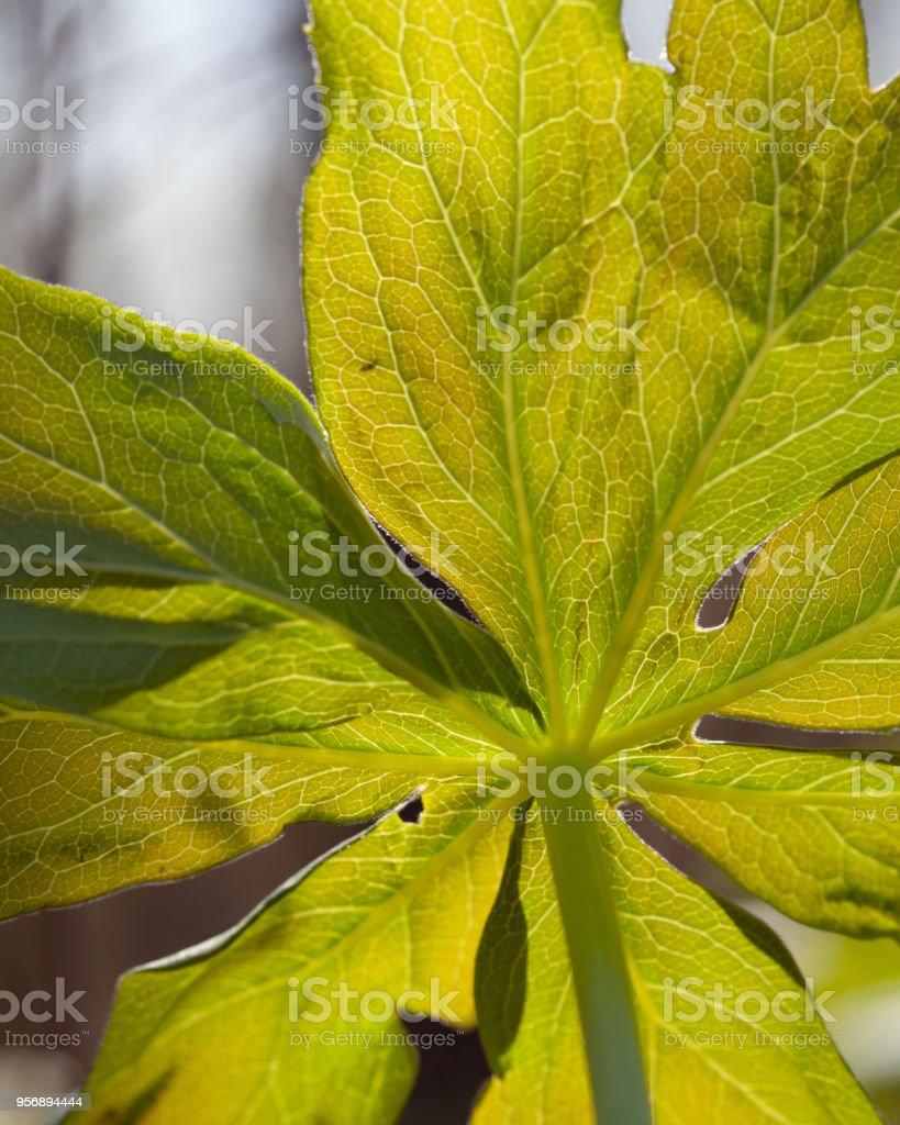 Large leafed Mayapple plant on the early spring woodland floor stock photo