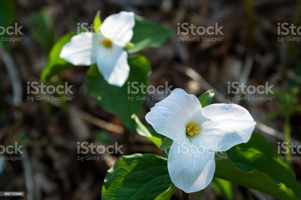 Large Leafed Trillium stock photo