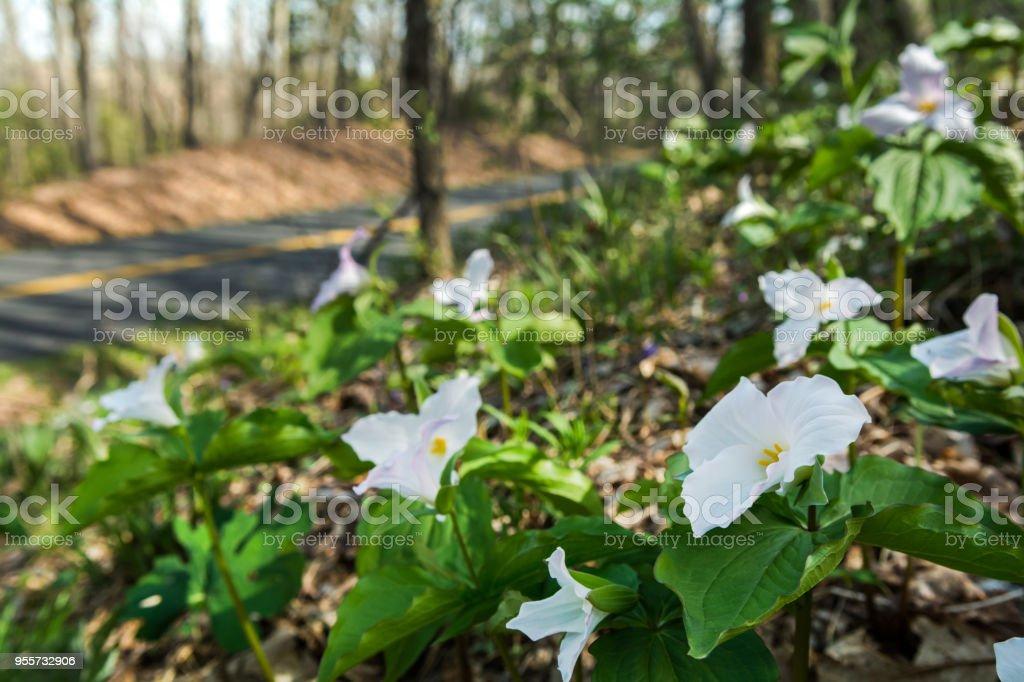 Large Leafed Trillium & the Blue Ridge Parkway stock photo