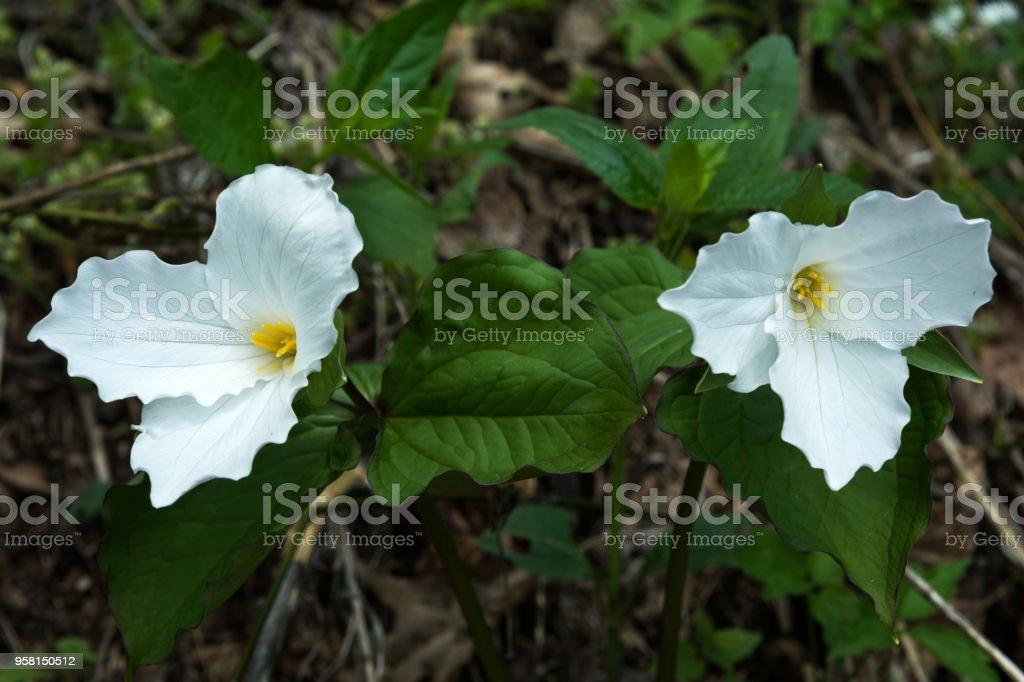 Large Leafed White Trillium stock photo