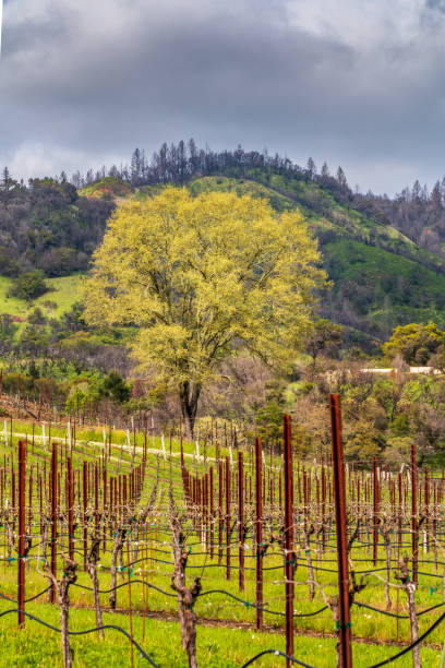 Large leafing tree end of vineyard stock photo