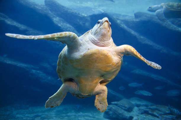 een grote lederschildpad - leatherback mouth stockfoto's en -beelden