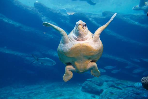 een grote lederschildpad zwemmen - leatherback mouth stockfoto's en -beelden