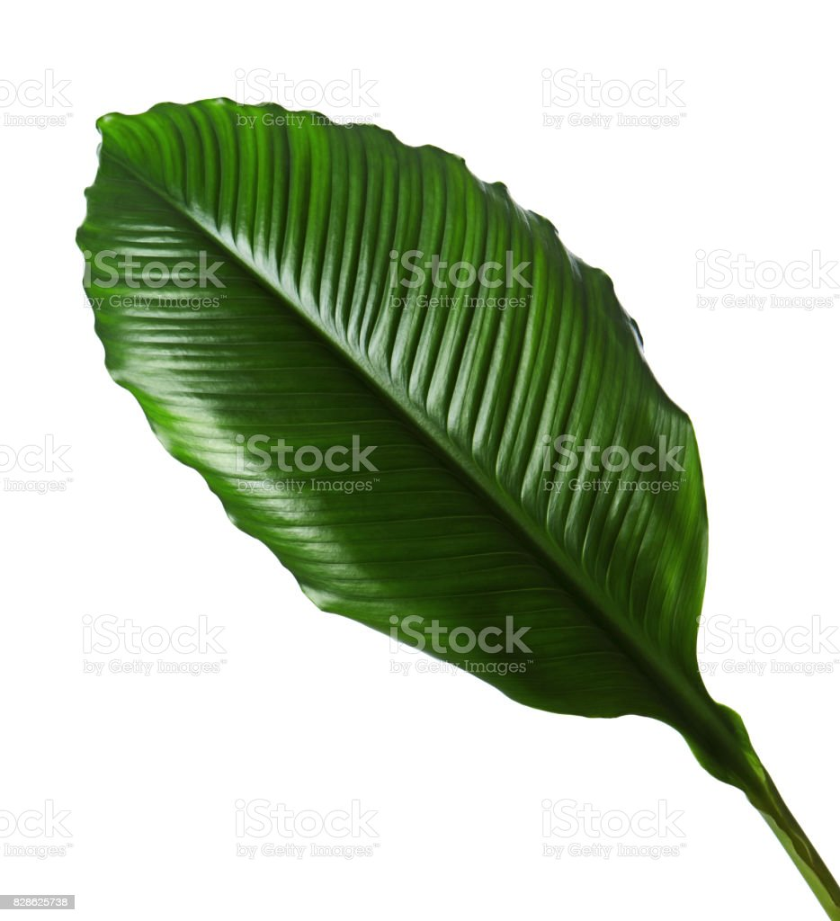 Large leaves of Spathiphyllum or Peace lily, Fresh green foliage isolated on white background, with clipping path stock photo