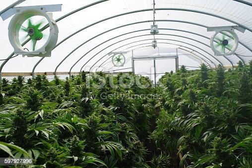 istock Large Legal Marijuana Commercial Grade Greenhouse Cannabis Indica Plants 597927996