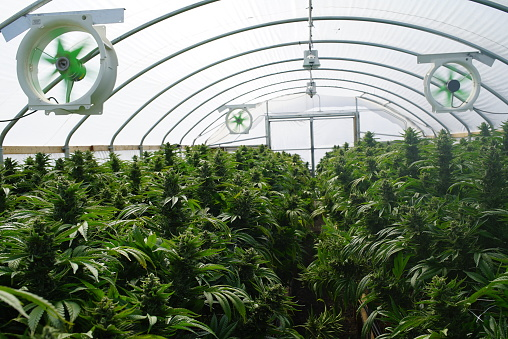 597927996 istock photo Large Legal Marijuana Commercial Grade Greenhouse Cannabis Indica Plants 597927996