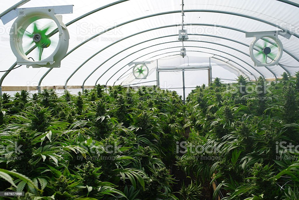 Large Legal Marijuana Commercial Grade Greenhouse Cannabis Indica Plants stock photo