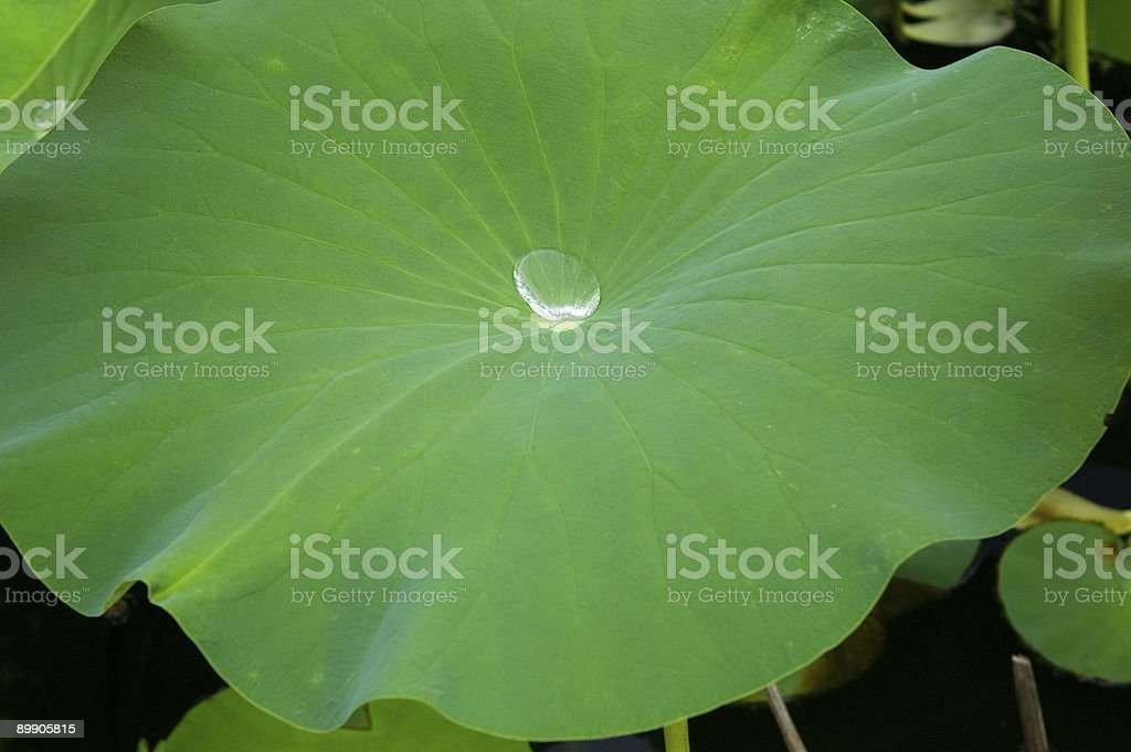 Large Lily Pad with Water Drop royalty-free stock photo