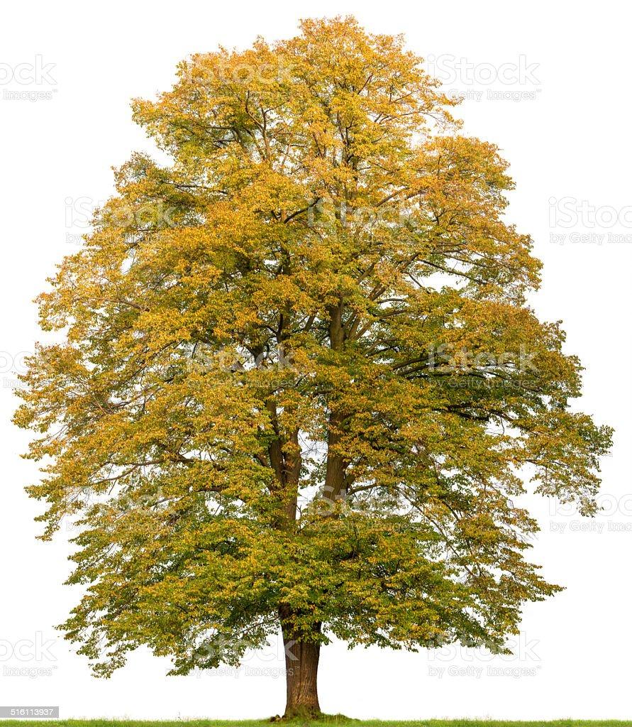 Large lime tree (Tilia cordata) in autumn isolated on white. Lime tree (Tilia cordata) in autumn isolated on white. Autumn Stock Photo