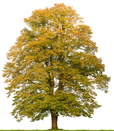Large Lime Tree In Autumn Isolated On White Stock Photo - Download Image Now