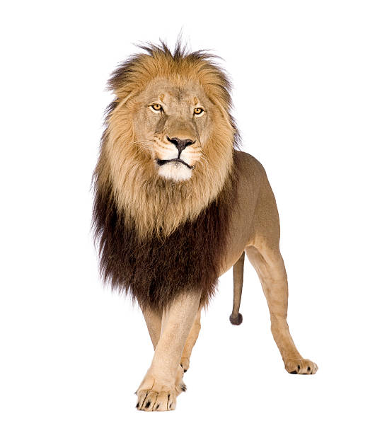 A large lion on a white background Lion (4 and a half years) in front of a white background. male animal stock pictures, royalty-free photos & images