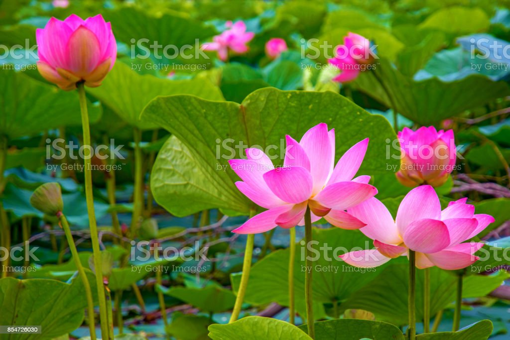 large lotus flowers. bright pink buds of lotus flower floating in the lake. stock photo