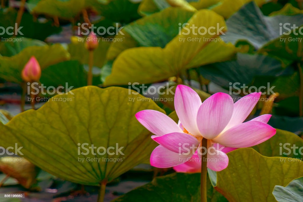 Large lotus flowers bright pink buds of lotus flower floating in the large lotus flowers bright pink buds of lotus flower floating in the lake royalty mightylinksfo Image collections