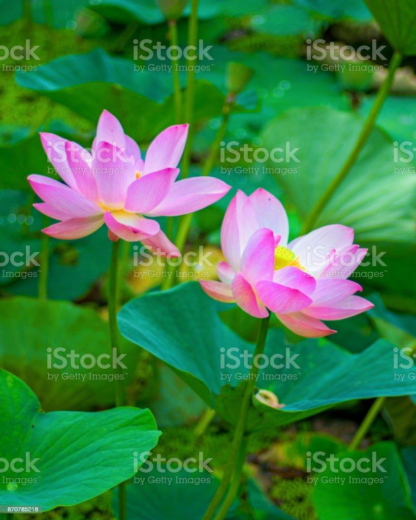 Large lotus flowers bright pink buds of lotus flower floating in the large lotus flowers bright pink buds of lotus flower floating in the lake royalty izmirmasajfo