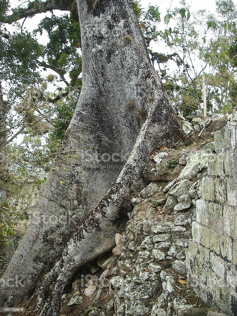Large Mahogany Tree on Ancient Great Pyramid Copan Honduras stock photo