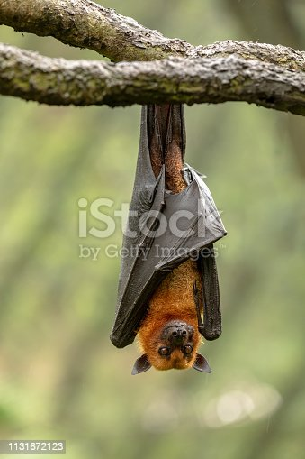The Large flying fox, Pteropus vampyrus, aka Malayan, Malaysian or Greater flying fox, hanging from a branch. This fruit eating bat is an importatnt pollinator of durian fruit and other fruits.