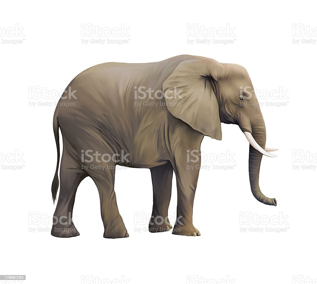 elephant white background pictures images and stock