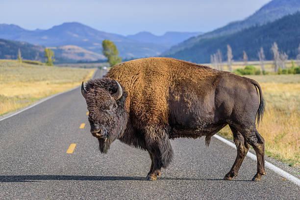 Large male bison on road bildbanksfoto