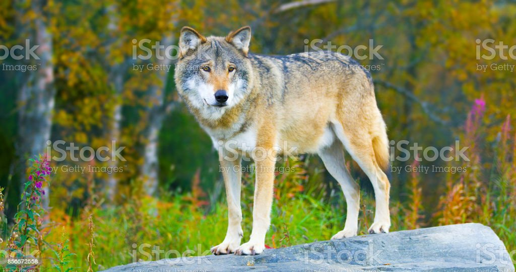 Large male grey wolf standing on a rock in the forest stock photo